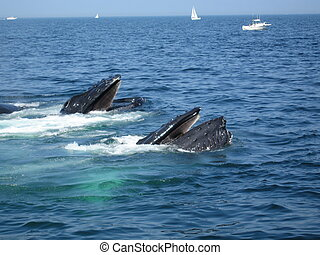 Whale Watching - Whales at the Coast of Boston