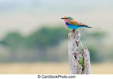 Lilac-breasted Roller - The Lilac-breasted Roller Coracias...
