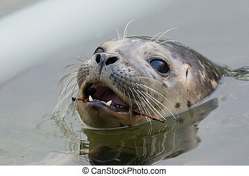 Close-up of a grey seal in the water
