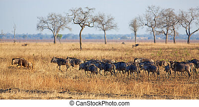 Wildebeest in Mikumi - Wildebeest standing in the savannah...