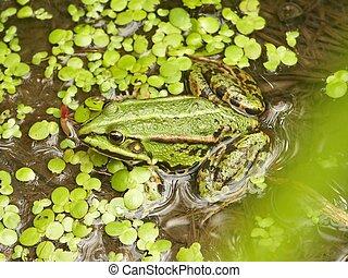人物面部影像逼真, 青蛙