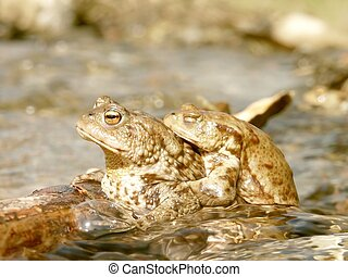 Frogs in the spingtime