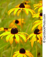 Yellow Coneflowers - Yellow coneflowers (rudbeckia hirta)...
