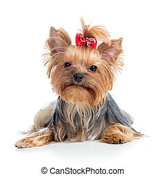 puppy yorkshire terrier isolated on white background