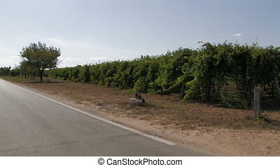 Panoramic of rows of grape vines and country road