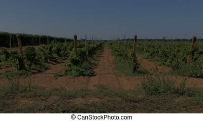 Rows of small grape vines and dry red clay earth