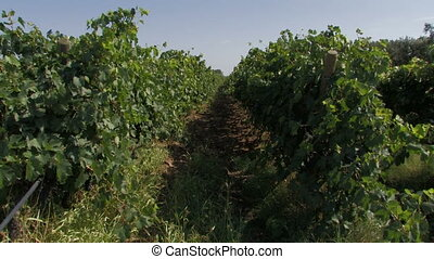 Rows of organic grape vines in the dry southern wind, during...