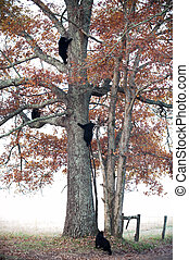 Four black bear cubs climb a tree in Smoky Mountain National...