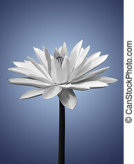 Waterlily isolated on blue