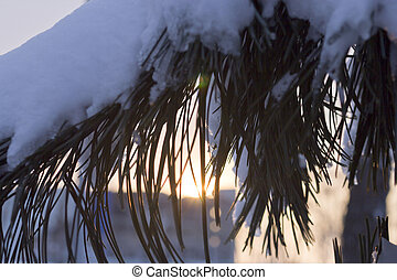 Pine branches in snow in beams of the coming sun