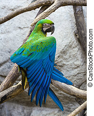 "Blue and Gold macaw, Scientific name ""Ara ararauna"" bird"