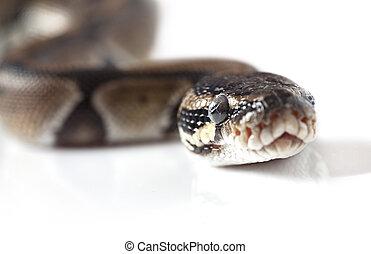 Portrait of Python snake closeup - Portrait of Python snake...