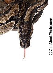 Python snake showing forked tongue closeup - Python snake...