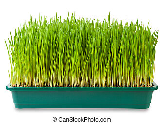 Wheatgrass - Fresh green wheatgrass  isolated on white