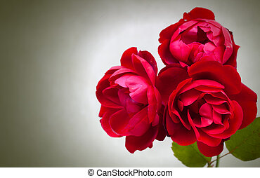 Three garden red roses on green background
