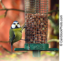 Blue tit bird eating seed on feeder in garden