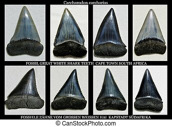Fossil great white shark teeth - Collage of fossil great...