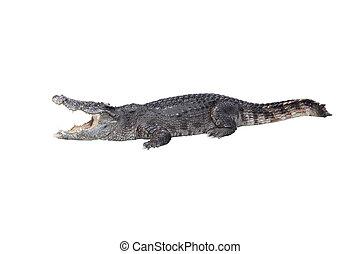 鱷魚, 打開, 嘴, 停留, 休息, 白色, 背景