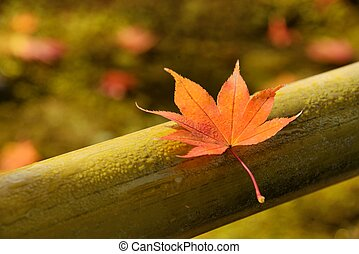 Autumn Maple Leaf - Red maple leaf soaked in morning dew on...