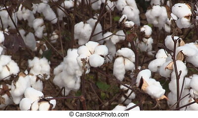 Cotton Bolls Pull - Zoom out from a closeup of a cotton boll...