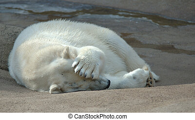 Polar bear with paw over face