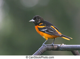 Baltimore Oriole (Icterus galbula) with pine trees in the...