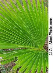 palma, ventilador, verde
