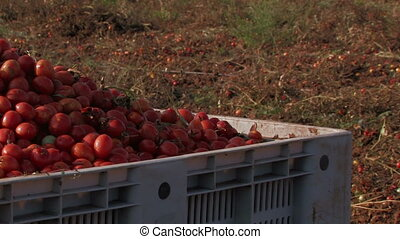 Bright red tomatoes at harvest, in large crate