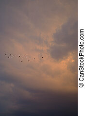Flying home - Flock of ibis birds flying home in front of...
