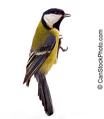 Graceful great tit - Great tit isolated on white; during...