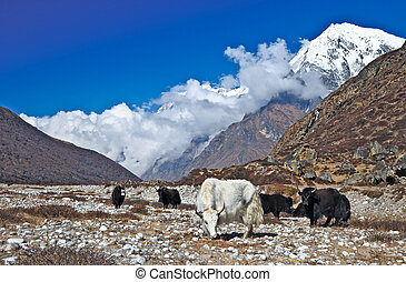 Herd of yaks grazing in the Himalaya mountains