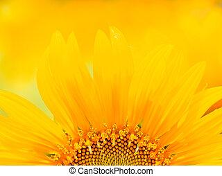 bonito, amarela, girassol