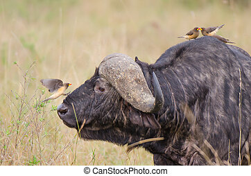 Buffalo and oxpecker - An oxpecker is just about to land on...