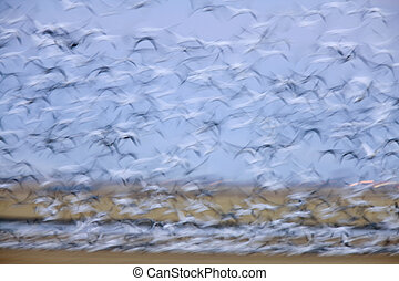 Panned image of birds in sky Saskatchewan Canada snow geese