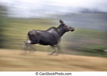 Moose on the run blurred and panned image Canada