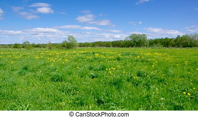 Field of dandelions,