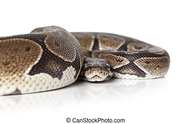 Python snake closeup - Portrait of Python snake on white...