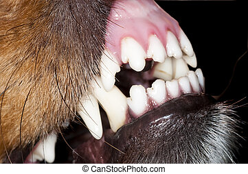 狗, 牙齒