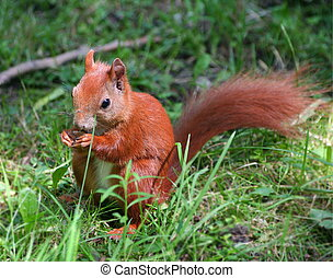 Little squirrel with nut, on green grass