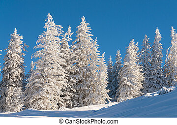 Pine trees in snow with blue sky in the winter