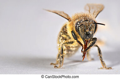 Macro shot of honey bee, pollen visible. It is cleaning the...