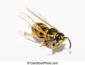 Wasp - detail of a common wasp - Vespula vulgaris