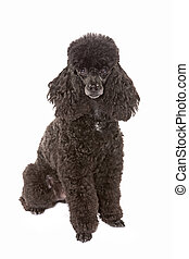 black poodle - miniature black poodle isolated on white...