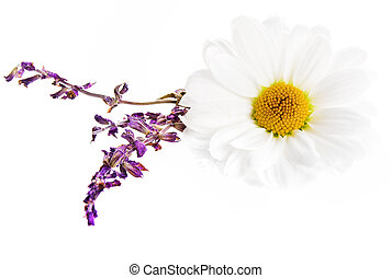 chamomile and lavender flower isolated