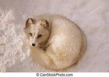 quot;Arctic Fox Momentquot; - Bright winter portrait of an...