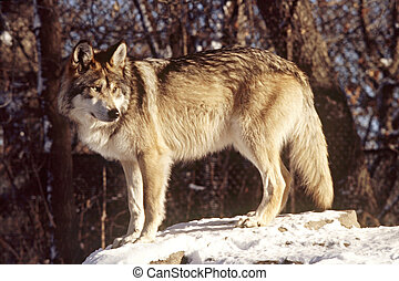 A Mexican Wolf - Portrait of a Mexican Wolf on exhlibit at...