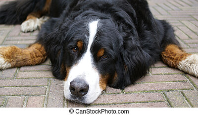 Bernese mountain dog. - Typical swiss bernese dog, lying...