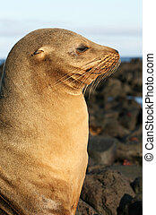 Sea Lion in Profile - A Sea Lion in Profile