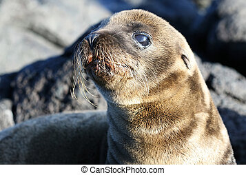 Young Sea Lion - A young sea lion on the rocky beach of the...