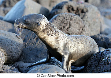 Wet Sea Lion Pup - A wet sea lion pup on the beach